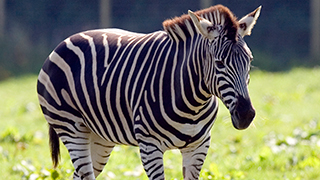 87f74cb8c96ad Egyptian Zoo Denies Painting Stripes On Donkey To Make It A Zebra ...